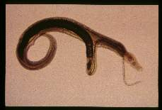 Schistosoma japonicum Paired adult male and female. The female lies within the gynecophoric canal of the larger male.