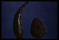 Haemadipsa picta. North Borneo. One of several color variants of this species of terrestrial leech.