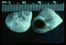 Littorina innorata (Gulf of Mexico). In appropriate areas, this species may serve as an intermediate host of bird schistosomes.