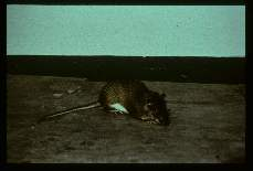 Rat, armored. (Panama). Known to carry natural infections of Leishmania.