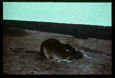 Rat, spiny. (Panama). Known to carry natural infections of Leishmania.