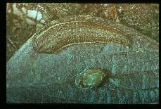 Haemadipsa zeylanica. land leech and cocoon. After a single blood meal, a leech may produce several cocoons. Ten or more young leeches may emerge from each cocoon. Emergence time depends upon temperature. At laboratory room temperature emergence time was around 30 days.