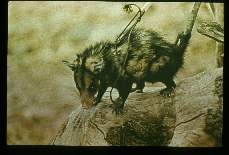 Multiple infections. Didelphys. An opossum caught near one the adobe houses in the upper Maranon river valley. This animal was found to be naturally infected with Trypanosome cruzi, Trypanosome rangeli, and numerous helminths.