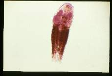 Alaria marcianae Adult from an experimentally infected cat. Carmine stain.