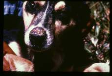 Leishmania braziliensis. Ulcer on the nose of a domestic dog in Bolivia.