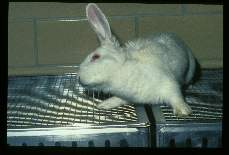 Baylisascaris procyonis. Experimentally infected rabbit suffering loss of equilibrium, ataxia and torticollis.