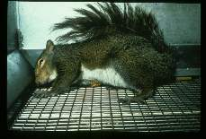 Baylisascaris procyonis. Encephalitis in an experimentally infected grey squirrel.