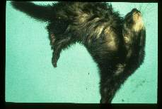 Baylisascaris procyonis. Experimentally infected ferret suffering encephalitis, extensor rigidity and opisthotonus.